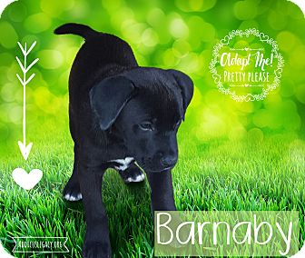 German Shepherd Dog Mix Puppy for adoption in West Hartford, Connecticut - Barnaby