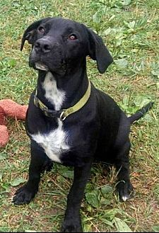Labrador Retriever/Hound (Unknown Type) Mix Dog for adoption in Cookeville, Tennessee - Daisy