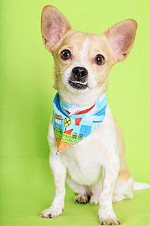 Chihuahua Mix Dog for adoption in Phoenix, Arizona - Phoenix