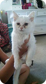 Domestic Longhair Kitten for adoption in Locust, North Carolina - Trinity