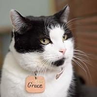 Domestic Shorthair Cat for adoption in Montreal, Quebec - Grace