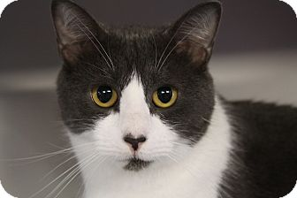 Domestic Shorthair Cat for adoption in Sarasota, Florida - Mindi