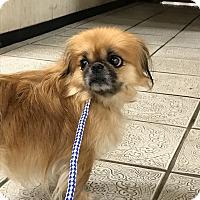 Adopt A Pet :: Peka - joliet, IL