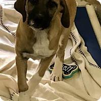 Adopt A Pet :: Shortcake - Hendersonville, NC
