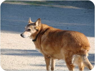 Australian Cattle Dog/German Shepherd Dog Mix Dog for adoption in Chandler, Arizona - Scooter