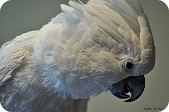 Cockatoo for adoption in Lenexa, Kansas - Duncan