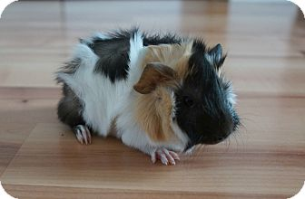 Guinea Pig for adoption in Brooklyn Park, Minnesota - Lenny