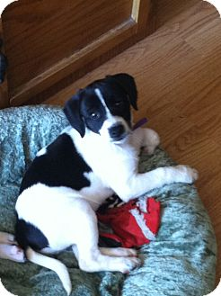 Jack Russell Terrier/Feist Mix Puppy for adoption in Indian Trail, North Carolina - Sissy
