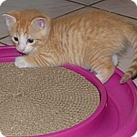 Adopt A Pet :: Baby Leo - Lighthouse Point, FL