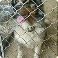 Adopt A Pet :: Apollo - Conway, AR