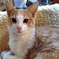 Domestic Shorthair Cat for adoption in Santa Fe, New Mexico - Rocio