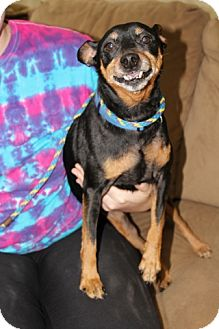 Miniature Pinscher Dog for adoption in Syracuse, New York - Renny