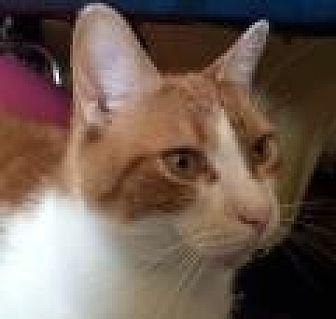Domestic Shorthair Cat for adoption in Breinigsville, Pennsylvania - Ginger Boy