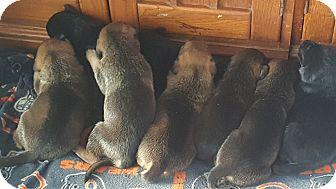 Doberman Pinscher/German Shepherd Dog Mix Puppy for adoption in Antioch, Illinois - Matilda's Babies!