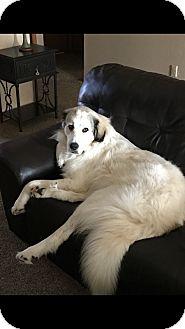 Great Pyrenees Dog for adoption in Yukon, Oklahoma - Adeline