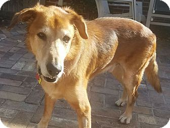 Retriever (Unknown Type) Mix Dog for adoption in Denver, Colorado - Howard