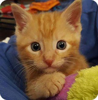 Domestic Shorthair Kitten for adoption in Fenton, Missouri - Oscar