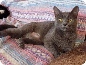 Russian Blue Kitten for adoption in Naperville, Illinois - Keeko