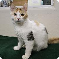 Adopt A Pet :: Amelie - Fountain Hills, AZ
