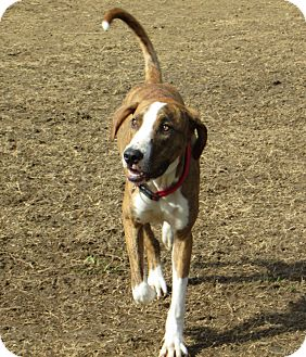 Plott Hound Mix Dog for adoption in Starkville, Mississippi - Gunner