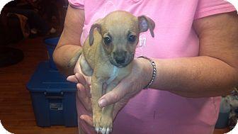 Chihuahua Puppy for adoption in Hazard, Kentucky - Walnut