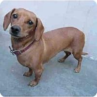 Adopt A Pet :: Brown Sugar 2241 - San Jose, CA