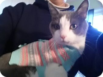 Domestic Shorthair Cat for adoption in Mansfield, Ohio - Chancy