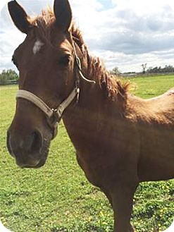 Quarterhorse Mix for adoption in LAFAYETTE, Louisiana - BUTTER