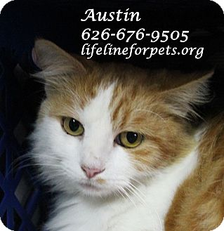 Domestic Longhair Cat for adoption in Monrovia, California - AUSTIN MEOWERS!