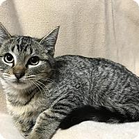 Adopt A Pet :: Storm - Dallas, TX