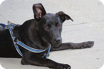 Labrador Retriever Mix Dog for adoption in Sarasota, Florida - Jack
