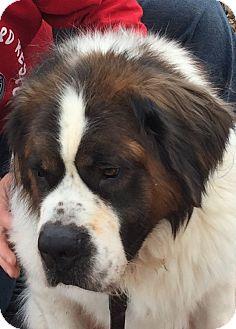 St. Bernard Dog for adoption in Denver, Colorado - Brix