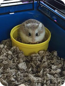 Hamster for adoption in Libertyville, Illinois - Bruno