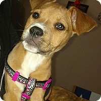 Adopt A Pet :: Daisy (Butterscotch) - Wichita Falls, TX