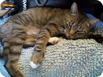 Domestic Shorthair Cat for adoption in Merrifield, Virginia - Mr. Skinny Bean