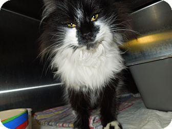 Domestic Mediumhair Cat for adoption in Medina, Ohio - Andrea