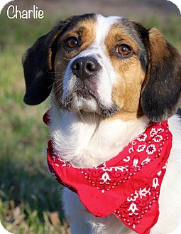 Beagle/Spaniel (Unknown Type) Mix Dog for adoption in Wilmington, Delaware - Charlie