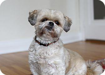 Shih Tzu Dog for adoption in Rigaud, Quebec - Chanel