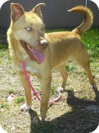 Siberian Husky/Retriever (Unknown Type) Mix Dog for adoption in Lincolnton, North Carolina - Buster