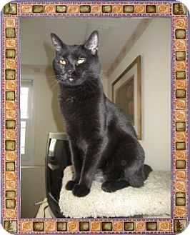 Domestic Shorthair Cat for adoption in Mt. Prospect, Illinois - Misty