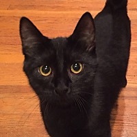 Domestic Shorthair Kitten for adoption in Burbank, California - Chili