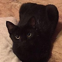 American Shorthair Cat for adoption in Hazlet, New Jersey - Sissy