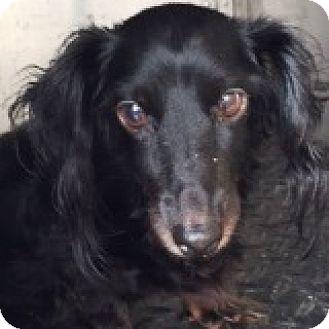 Dachshund Dog for adoption in Houston, Texas - Mo Matchup