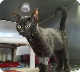 Bombay Kitten for adoption in Elyria, Ohio - Jinx