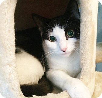 Domestic Shorthair Cat for adoption in East Brunswick, New Jersey - Nolan - TRIAL ADOPTION