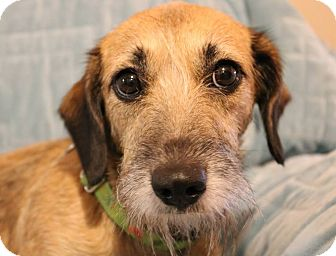 Terrier (Unknown Type, Small)/Dachshund Mix Dog for adoption in Charlotte, North Carolina - Lizbeth