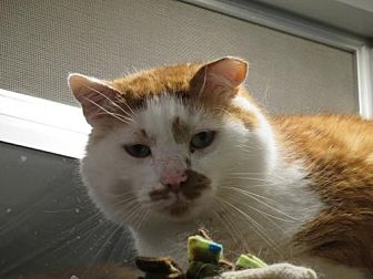 Domestic Shorthair Cat for adoption in Ashland, Massachusetts - FORGET-ME-NOTS