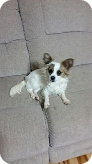 Papillon/Chihuahua Mix Dog for adoption in Pearisburg, Virginia - Ava