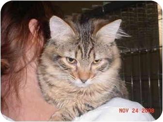 Domestic Longhair Cat for adoption in Pendleton, Oregon - Cheech