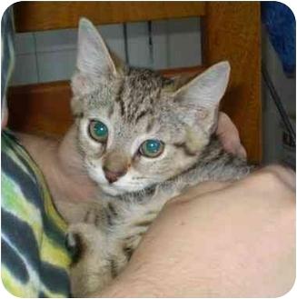 Domestic Shorthair Kitten for adoption in Boston, Massachusetts - Ginger